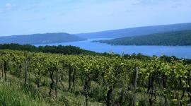 Finger Lakes grape vines